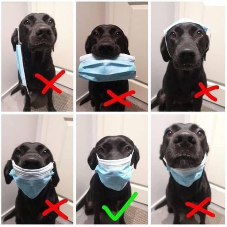 6 photos of black Labrador retriever wearing a face mask incorrectly in 5 shots.